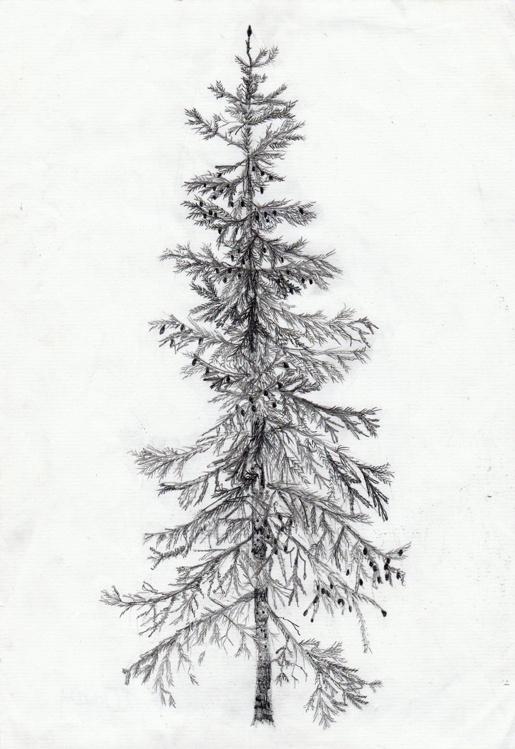 Free Spruce Drawing Download Free Clip Art Free Clip Art