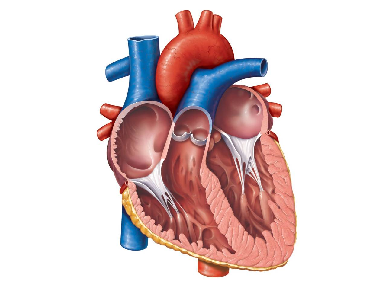 Free Unlabelled Diagram Of The Heart Download Free Clip
