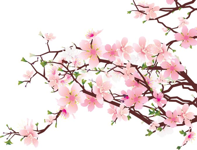 Cherry Blossom / Sakura on Clipart library | 273 Pins