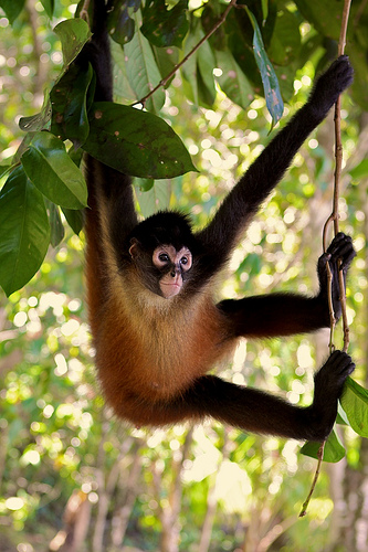 Spider Monkey Hanging Out Flickr Photo Sharing