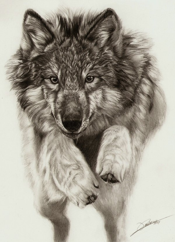 Free Wolf Drawings Download Free Clip Art Free Clip Art
