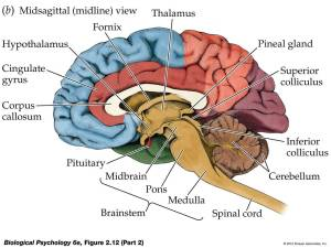 Free Brain Diagram, Download Free Clip Art, Free Clip Art