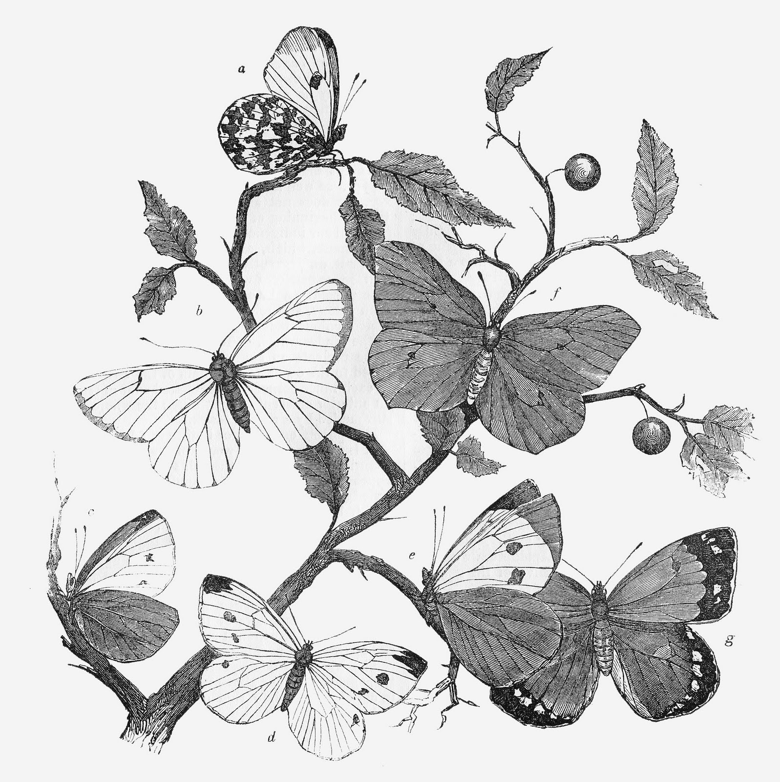 Vintage Butterfly Clipart Black And White