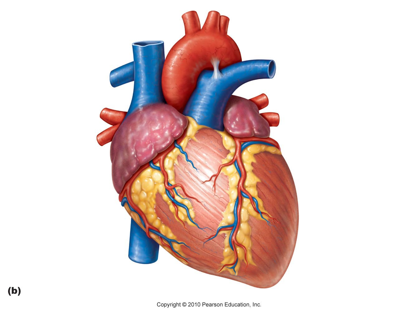 Real Heart Clip Art Library