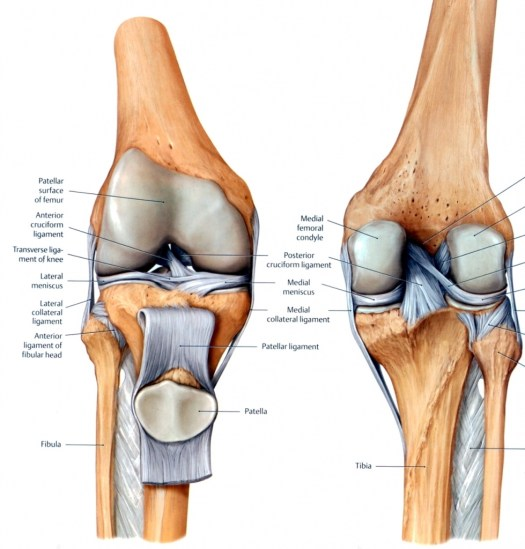 Human knee anatomy images periodic diagrams science human knee anatomy ilration of the joint labelled ccuart Image collections