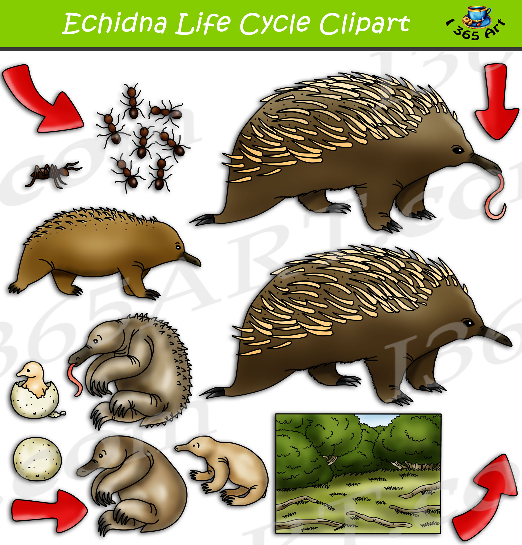 Echidna Life Cycle Clipart Set Download