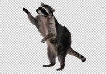Клипарт енот, для Фотошоп в PSD и PNG, без фона | Животные ...