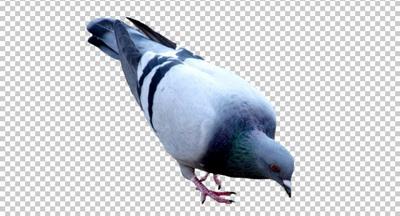 Клипарт голубь, фото для Фотошоп в PSD и PNG, без фона ...