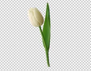 Клипарт цветок - белый тюльпан, для Фотошоп в PSD и PNG ...