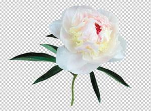 Клипарт пион белый, для Фотошоп в PSD и PNG, без фона ...