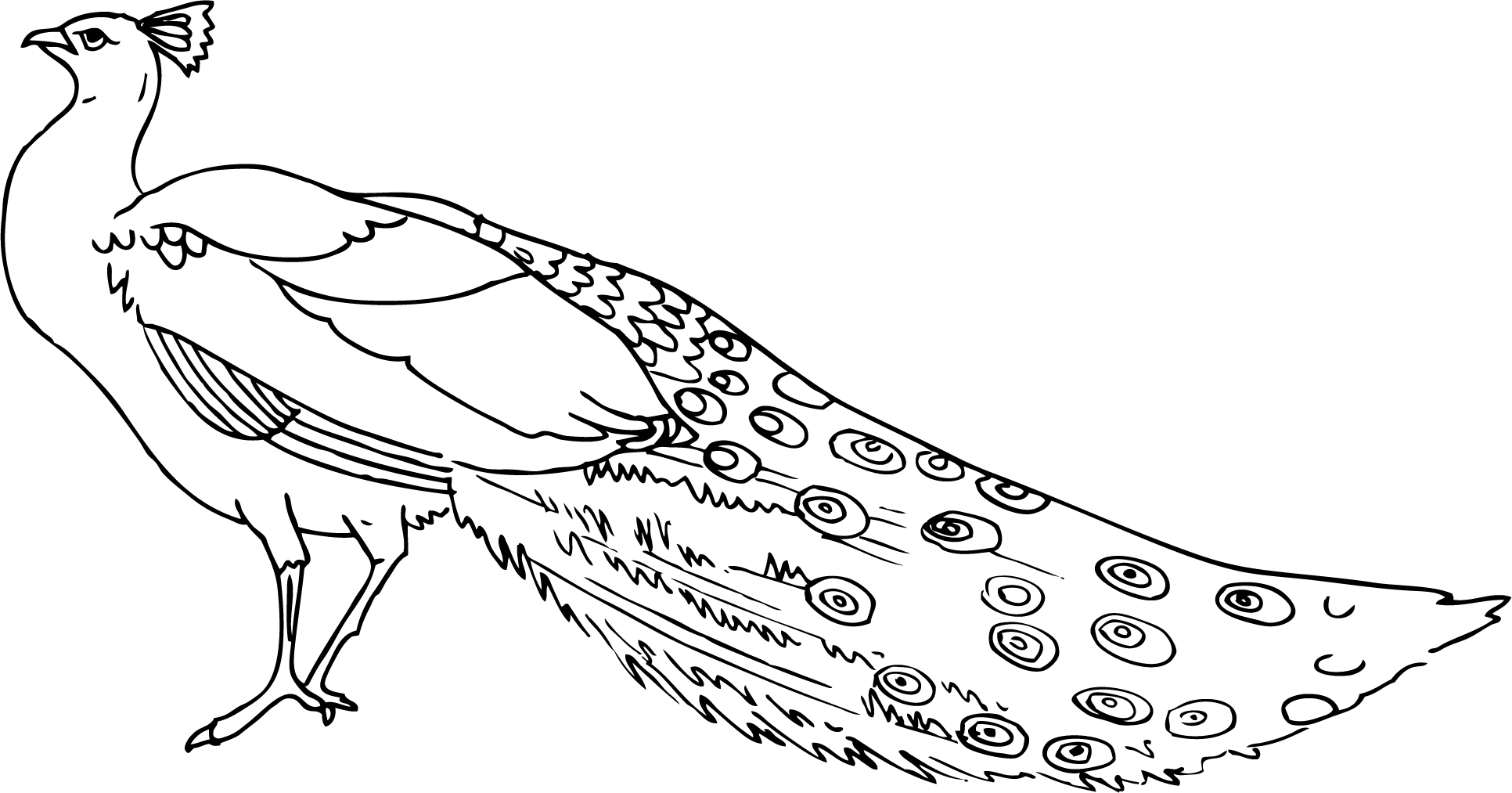 Best Peacock Clipart