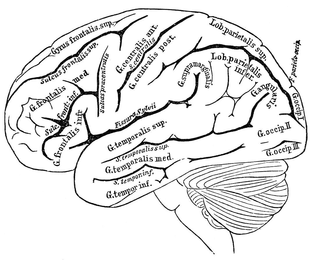 Brain Clip Art Brain Clipart Clipart Vintage Black And
