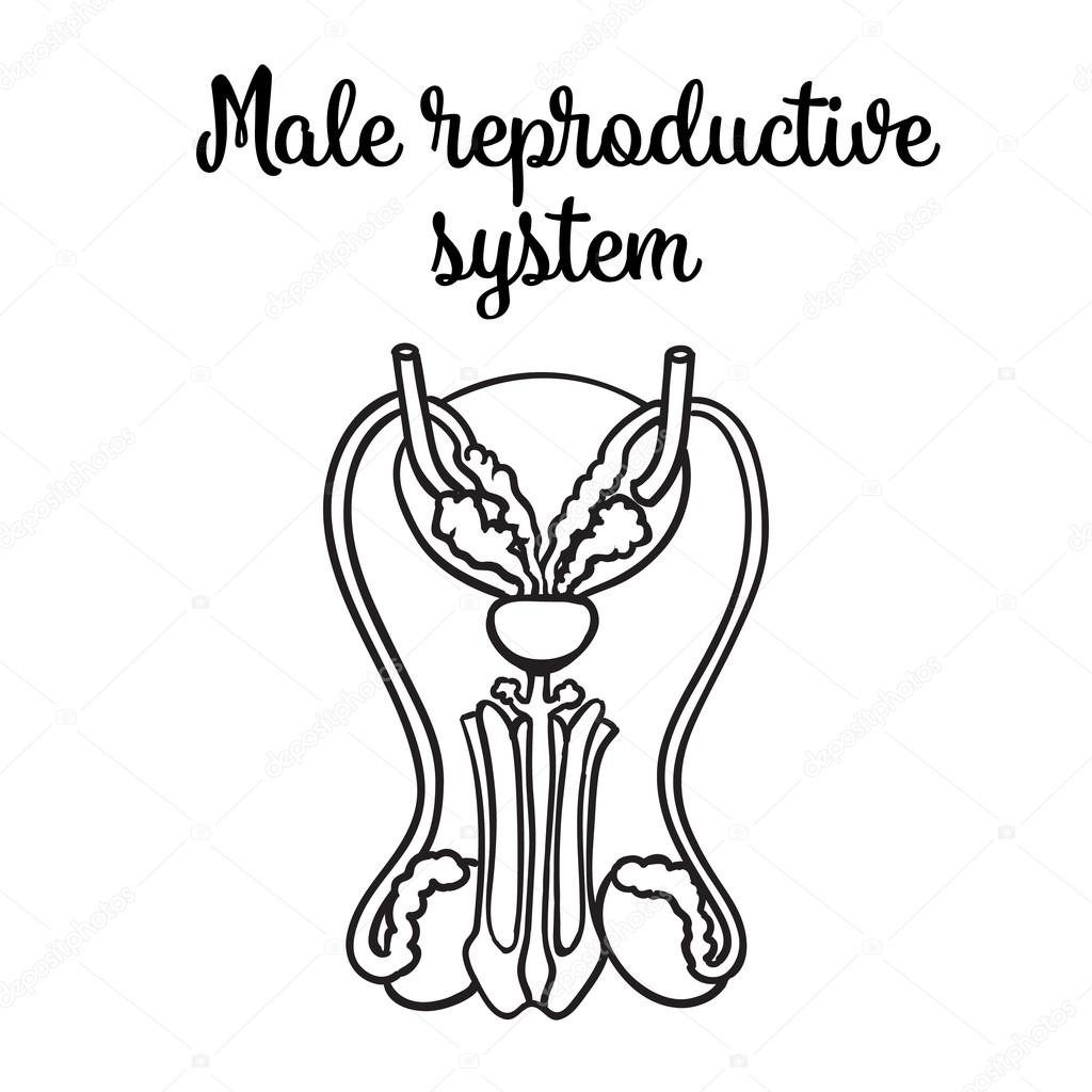 Female Reproductive System Drawing