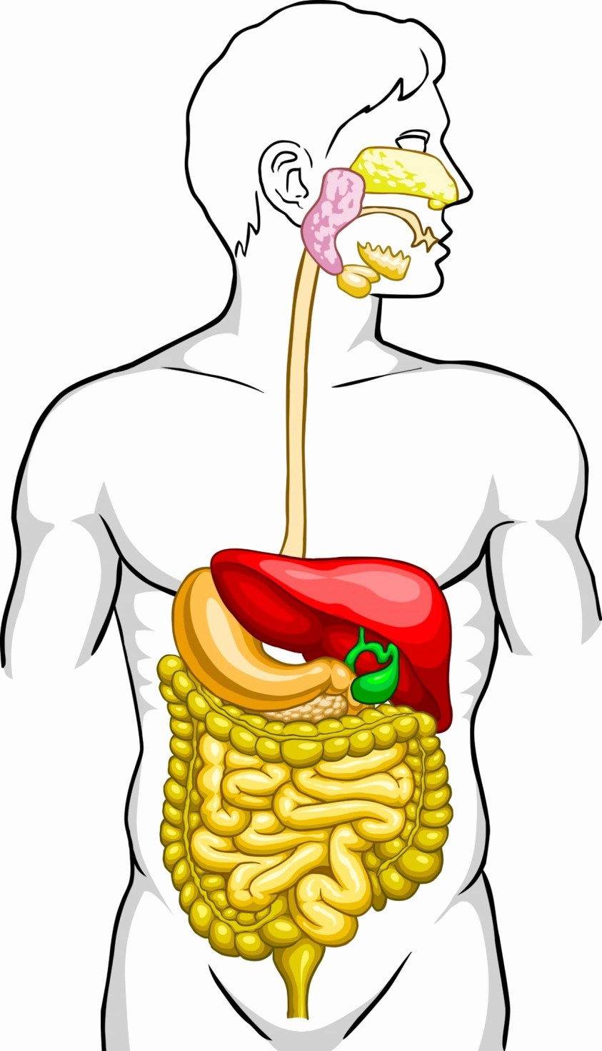 Human Digestive System Drawing | Free download on ClipArtMag