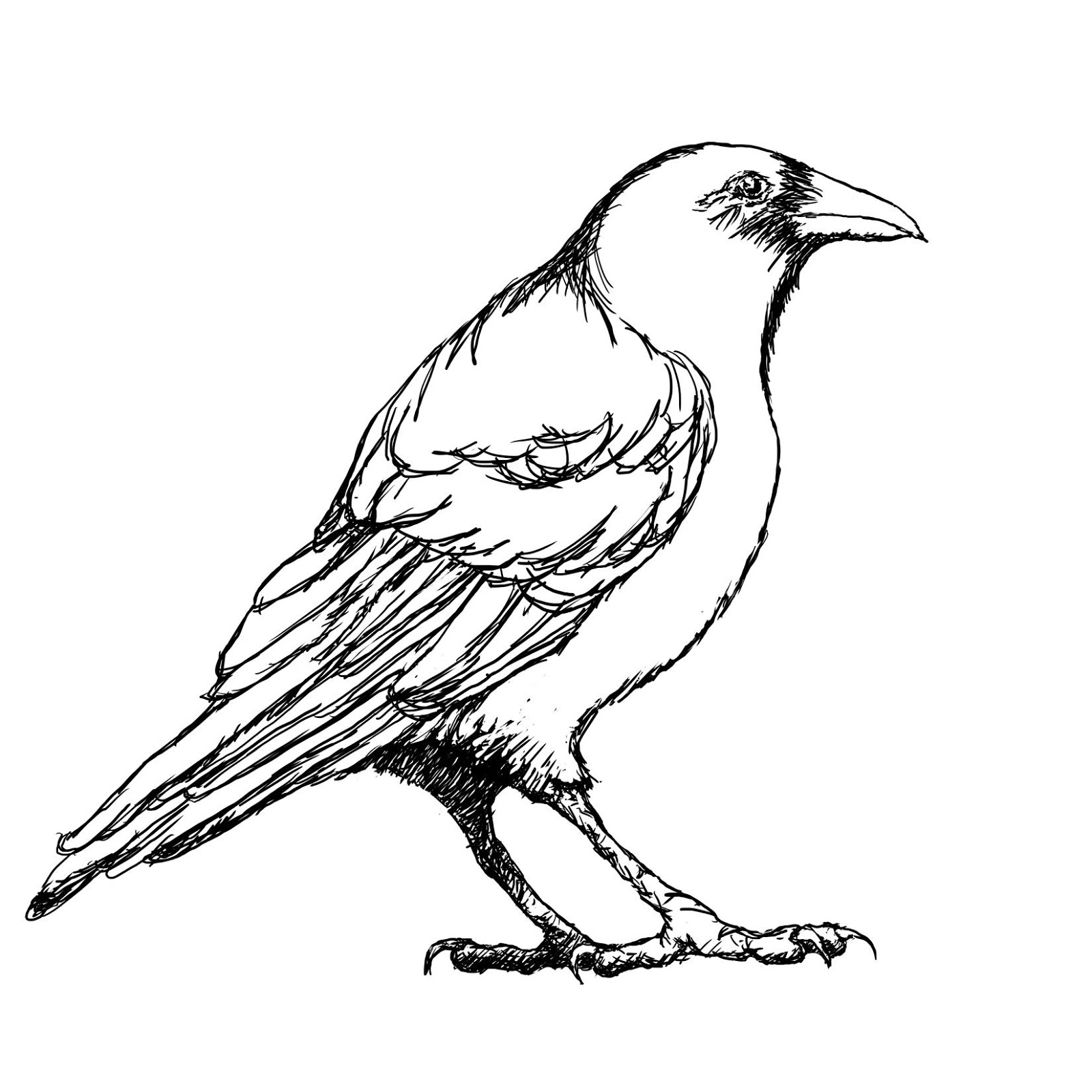 Crow Outline Drawing Sketch Coloring Page