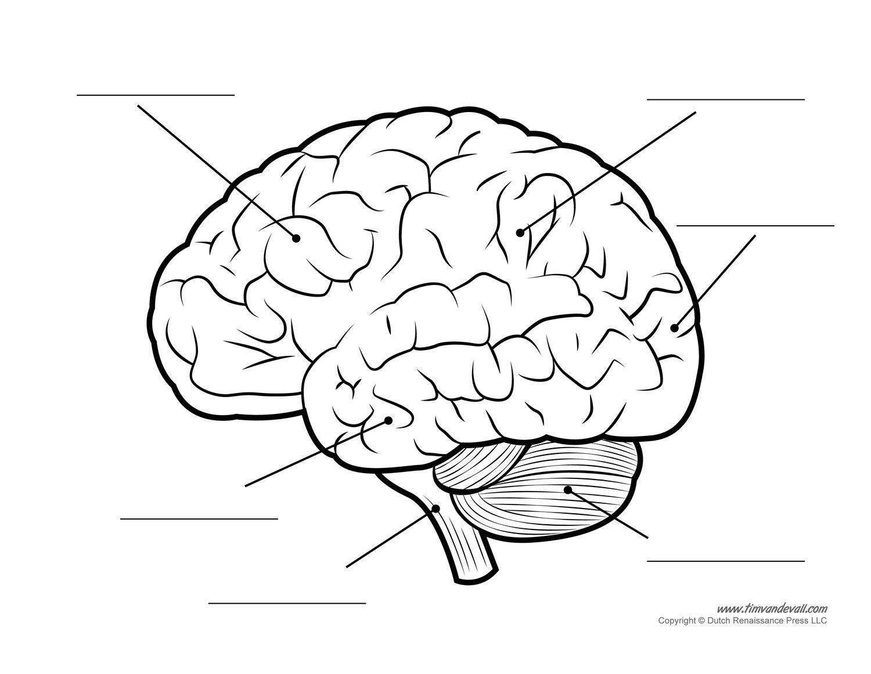 Free Brain Clipart Diagram Pictures On Cliparts Pub