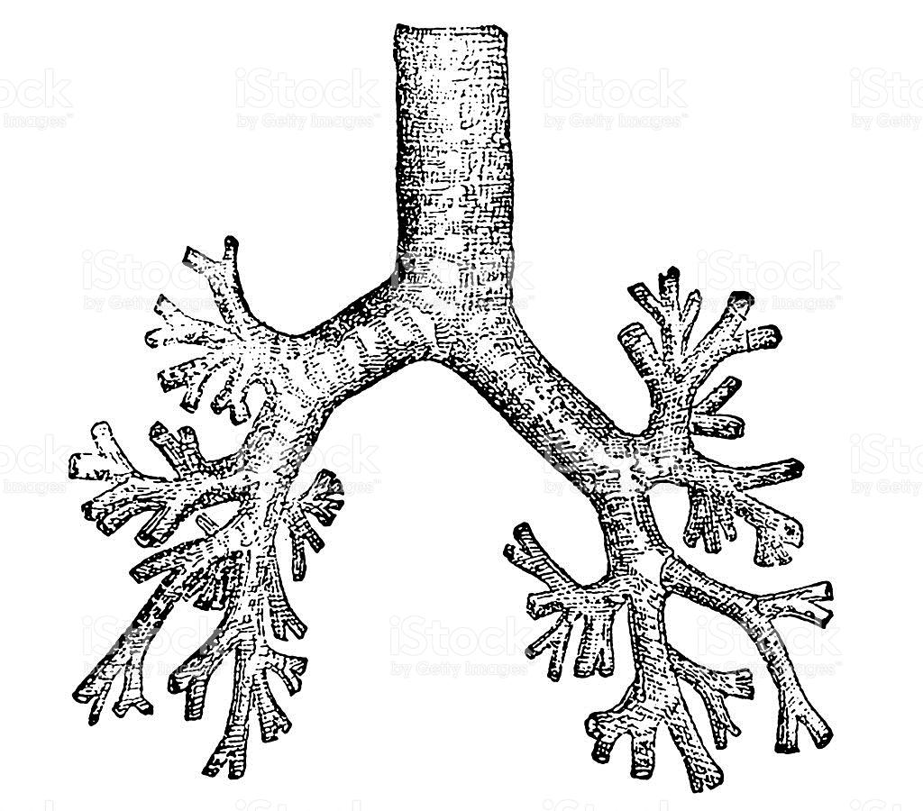 Bronchial Tube Clipart
