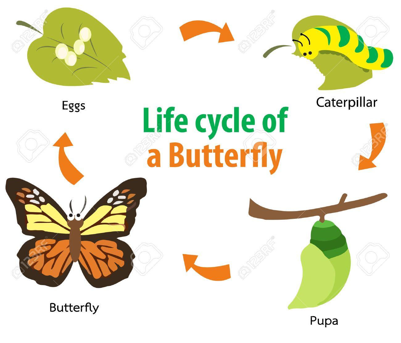 Butterfly Cycle Clipart 20 Free Cliparts