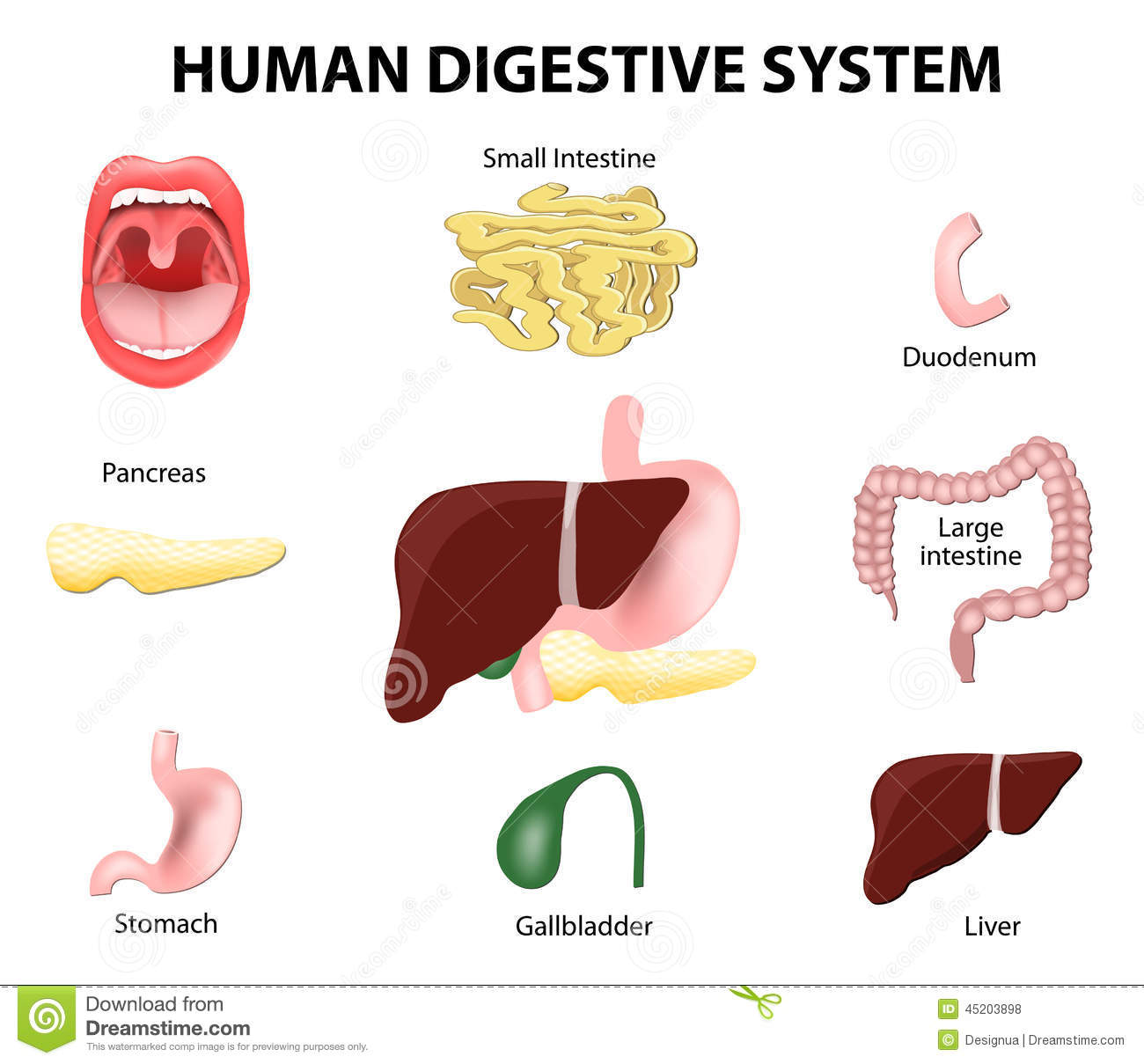 Digestive System Cut And Stick Worksheet