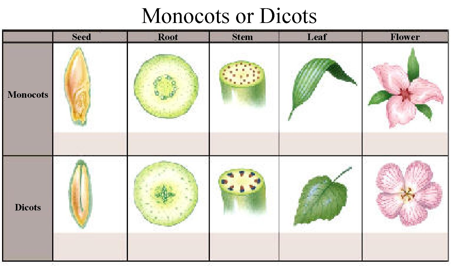 Monocotyledons Clipart 20 Free Cliparts
