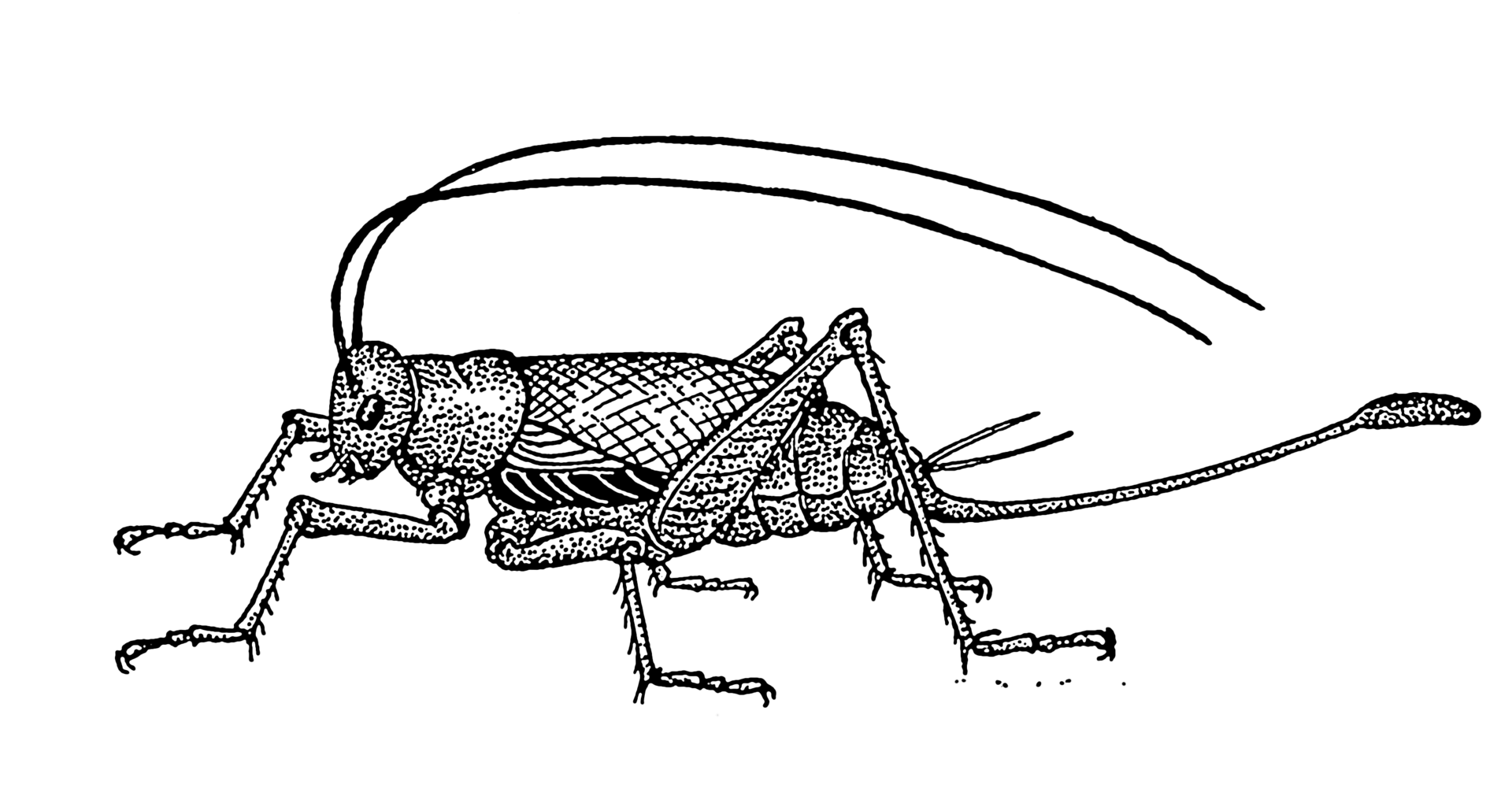Ovipositor Clipart