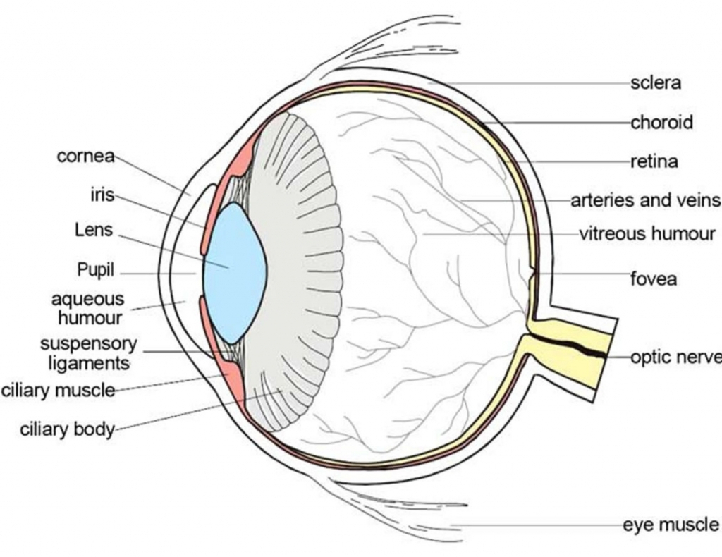 Parts Of The Eyes Clipart