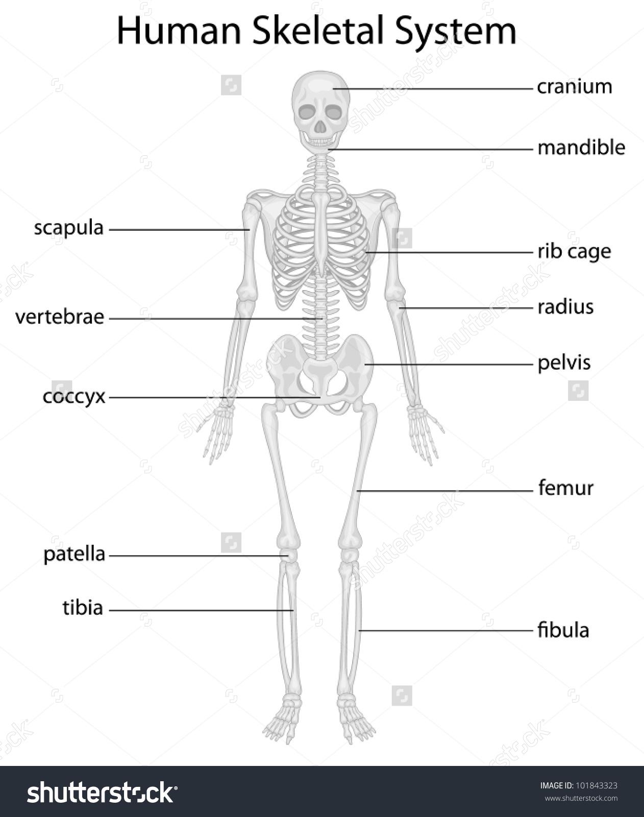 Skeletal Structure Clipart
