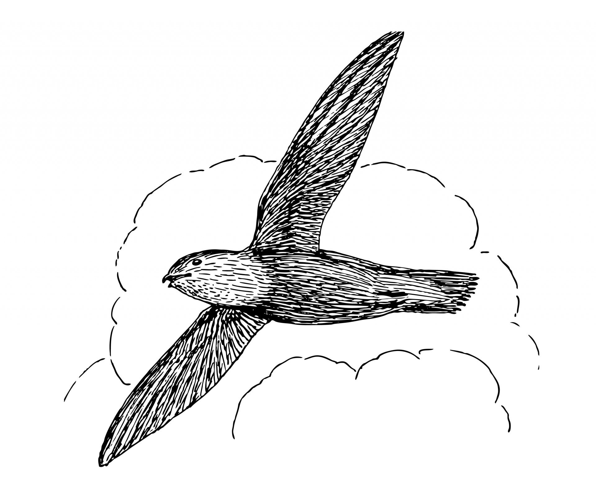 Swift Bird Clipart