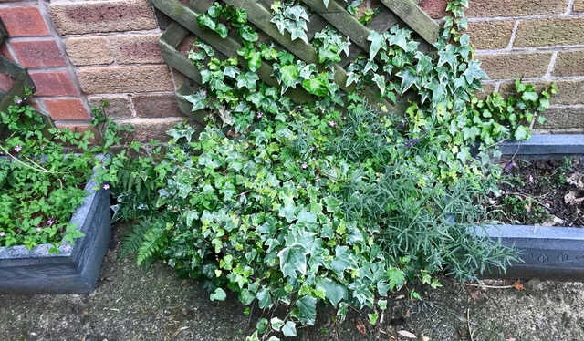 In your garden, you might have ivy growing up a fence, wall or your house