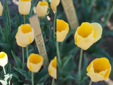 dittico tulipani