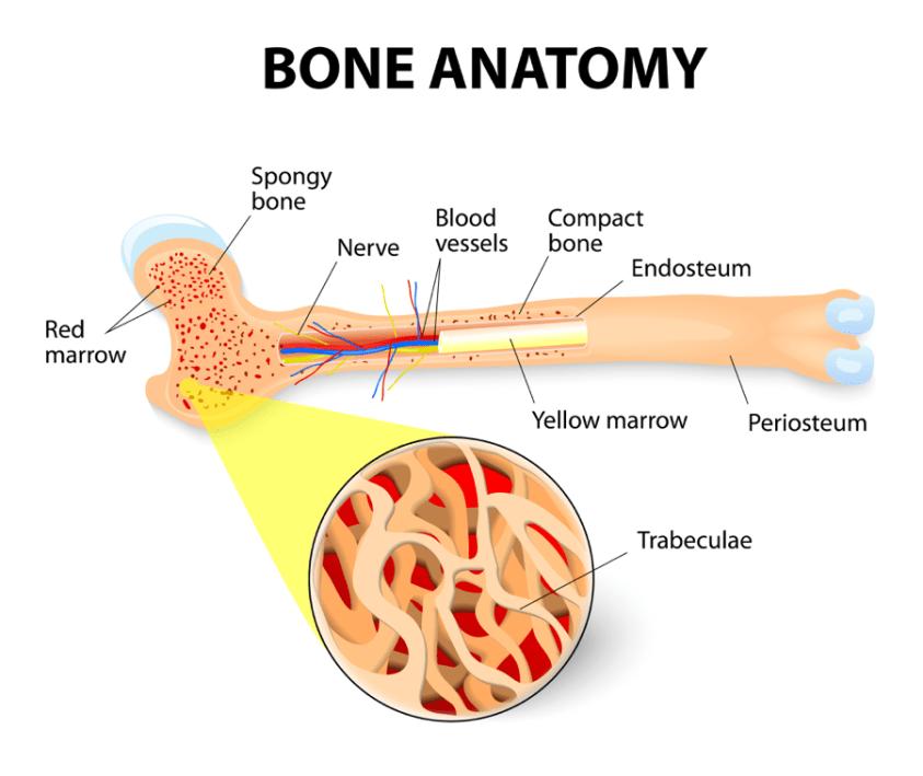 What is Bone Marrow?   CLL Society