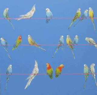 Perching Budgerigars on Blue