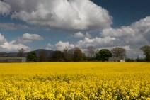 Fields of rape seed under Slievenamon 01