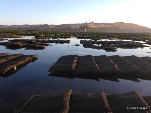 Oyster Farm Rows