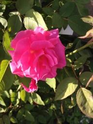 Zephirin Drouhin pink bloom