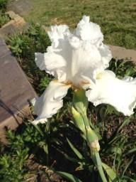 One Siberian Iris