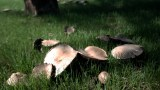 how to make a spore print collecting mushrooms