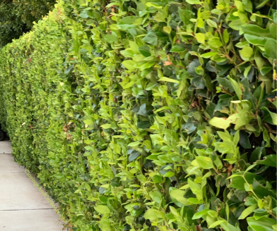 ligustrum hedge privacy