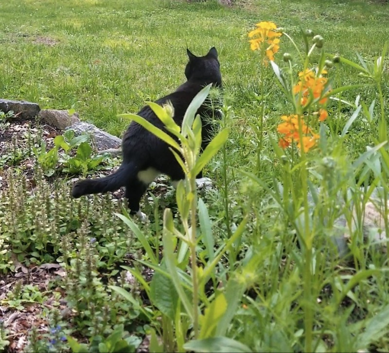 Soul-o is the Garden Keeper and sometimes he keeps circling, chasing the squirrels away from digging there near the house