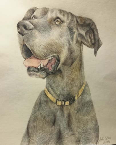 Memorial Drawing (Work in progress) of Xena the Great Dane Feb 2016 using Faber Castelle pencils, by Clouded Ideas (Aoife Stokes)