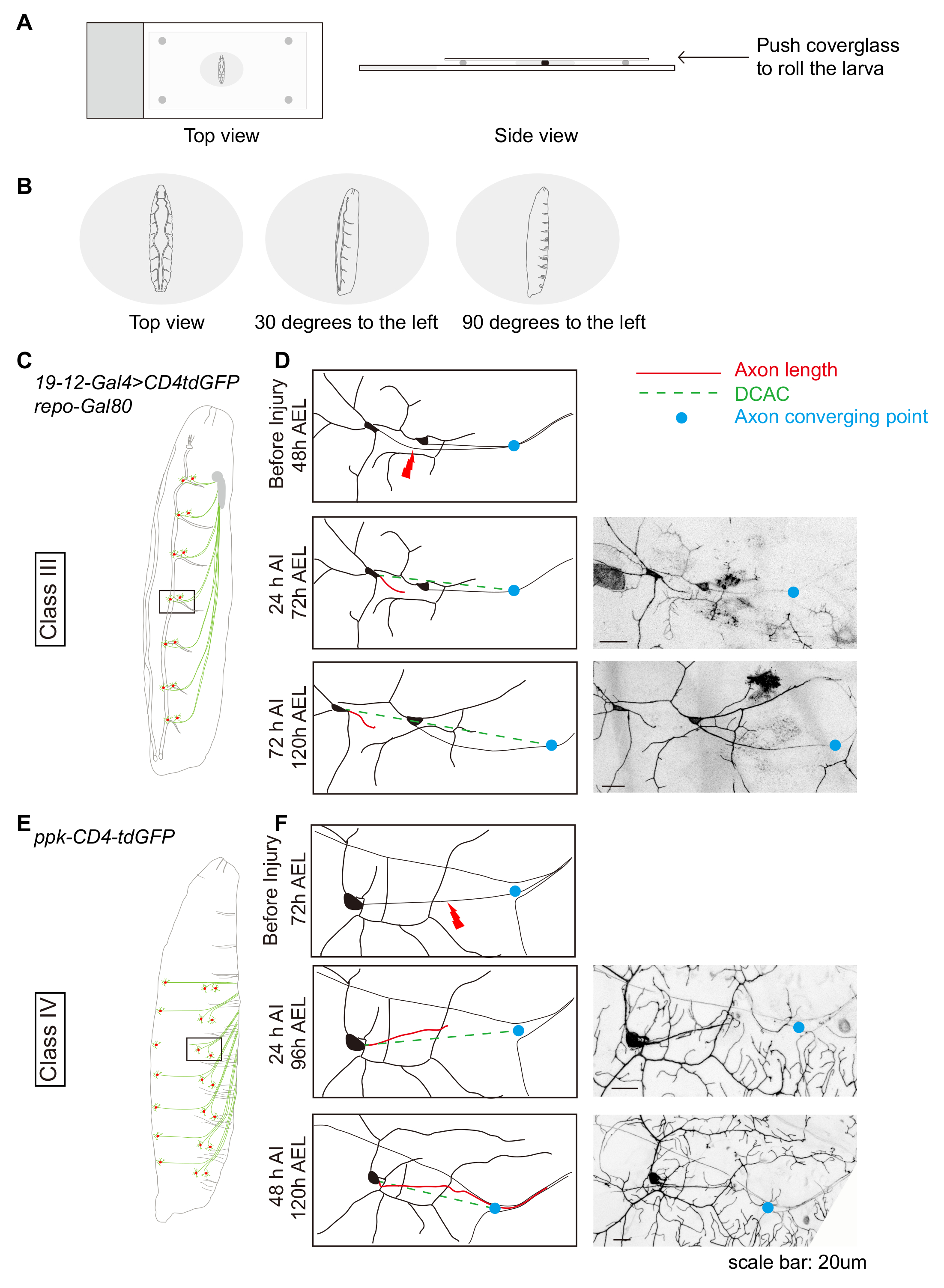 A Drosophila In Vivo Injury Model For Studying