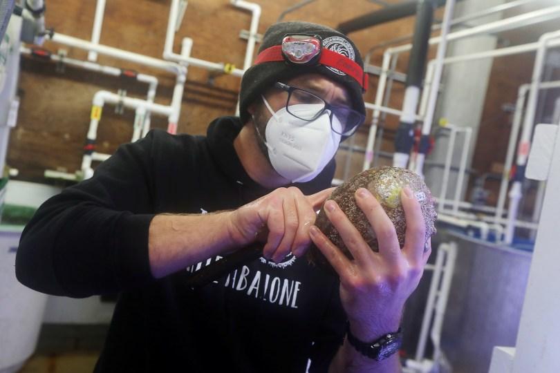 Lab technician Evan Tjeerdema measures a white abalone at the University of California's Davis Bodega Marine Laboratory in Bodega Bay, California, U.S. March 18, 2021. Picture taken March 18, 2021. REUTERS/Nathan Frandino