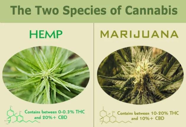 Infographic comparing Hemp to Marijuana - THC and CBD
