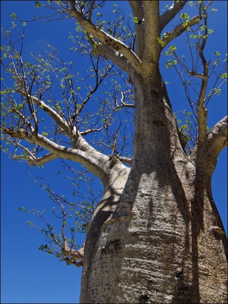 Kings Park Boab tree