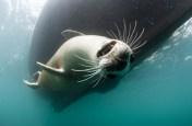 Lundy Seal Nick Blake 10