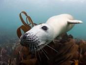 Lundy Seal Nick Blake 2
