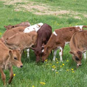 The oldest calves out on pasture