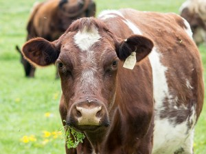 grazing-cow