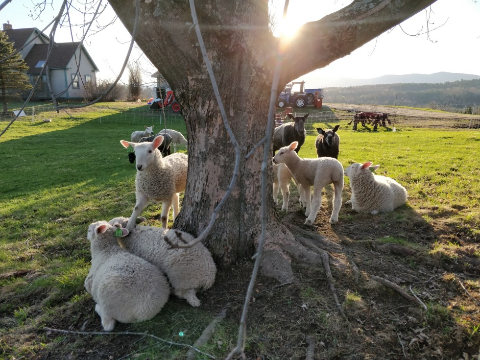 Lambs under a shade tree