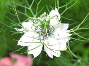 nigella_sativa_or black cumin seed
